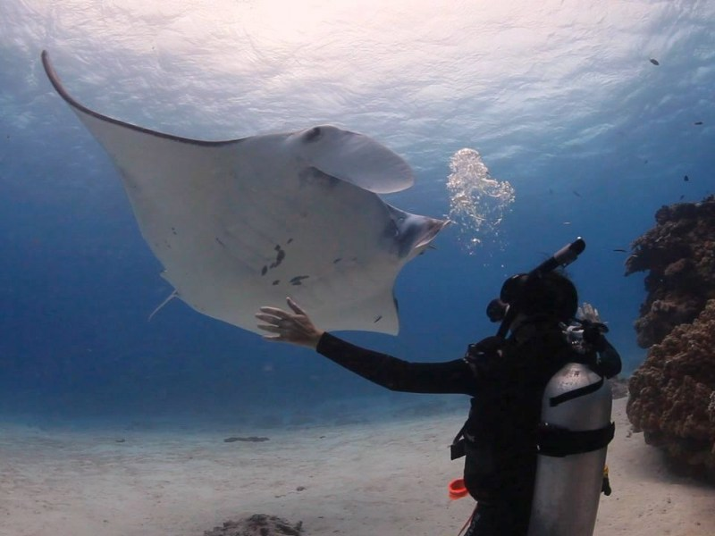 Graceful-manta-ray